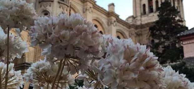 Biznaga, the flower of Málaga