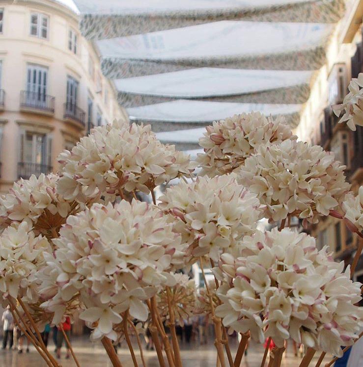 La biznaga de Málaga